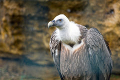 Griffon vulture (Gyps fulvus) Stock Photography