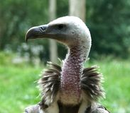 Griffon vulture Gyps fulvus close up royalty free stock images