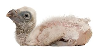 Griffon Vulture, Gyps fulvus, 4 days old. In front of white background royalty free stock photos