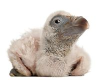 Griffon Vulture, Gyps fulvus, 4 days old. In front of white background royalty free stock image