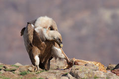 Griffon Vulture (Gyps fulvus) Royalty Free Stock Photo