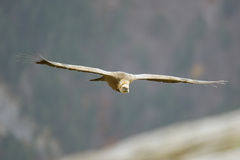 Griffon vulture, Gyps fulvus Stock Photos