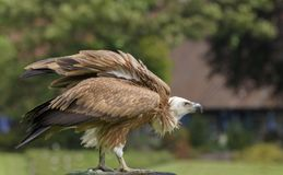 Griffon vulture, Gyps fulvus, Eurasian griffon is a large Old World vulture in the bird of prey family Accipitridae. A griffon is. Outdoor, on the glade stock photos