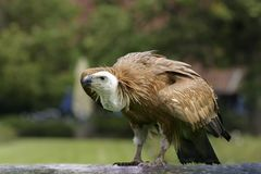 Griffon vulture, Gyps fulvus, Eurasian griffon is a large Old World vulture in the bird of prey family Accipitridae. A griffon is. Outdoor, on the glade. Close stock photo