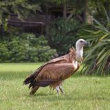 Griffon vulture, Gyps fulvus, Eurasian griffon is a large Old World vulture in the bird of prey family Accipitridae. A griffon is. Outdoor, on the glade royalty free stock image