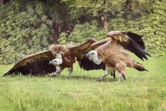 Griffon vulture, Gyps fulvus, Eurasian griffon is a large Old World vulture in the bird of prey family Accipitridae. Two griffons. Are outdoor, on the glade royalty free stock image