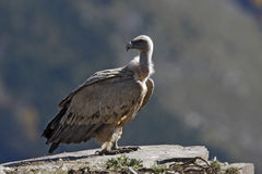 Griffon vulture, Gyps fulvus Royalty Free Stock Images