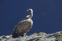 Griffon vulture, Gyps fulvus Royalty Free Stock Photography