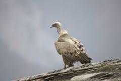 Griffon vulture, Gyps fulvus Stock Image