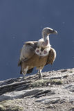 Griffon vulture, Gyps fulvus Royalty Free Stock Photos