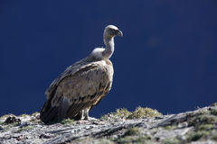 Griffon vulture, Gyps fulvus Royalty Free Stock Photo