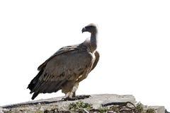 Griffon vulture, Gyps fulvus Stock Photos