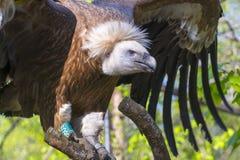 Griffon vulture (Gyps fulvus) Stock Image