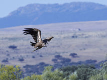 Griffon vulture Gyps fulvus Royalty Free Stock Image