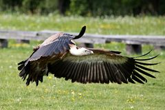 Griffon vulture Gyps fulvus in a german nature park royalty free stock photo