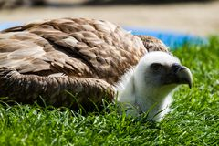 Griffon vulture Gyps fulvus in a german nature park stock photography