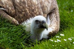 Griffon vulture Gyps fulvus in a german nature park stock image