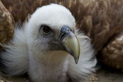 Griffon vulture Gyps fulvus in a german nature park stock images