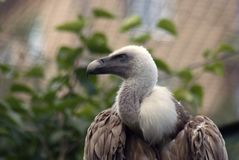 Griffon vulture Gyps fulvus royalty free stock photo