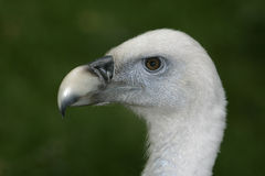 Griffon vulture, Gyps fulvus Royalty Free Stock Image