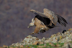 Griffon Vulture (Gyps fulvus). Royalty Free Stock Images