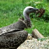 Griffon vulture with carcass in his mouth stock photography
