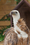 Griffon Vulture, Gyps fulvus. It is a large Old World vulture in the bird of prey family Accipitridae. Griffon vulture bird in zoo,Prgue royalty free stock photos