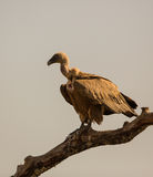 Griffon vulture Royalty Free Stock Photography