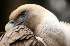 Griffon Vulture (Gyps fulvus) Royalty Free Stock Photos