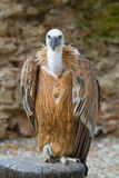 Griffon vulture (Gyps fulvus) Royalty Free Stock Image
