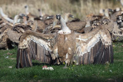The griffon vulture. Gyps fulvus with prey in the background of other vultures with wings spread stock photo