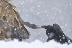 Sai Arrea. Griffon Vulture Gyps fulvus and the Raven Corvus corax in the snow. Cremenes León Stock Images