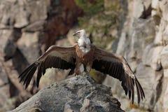 Griffon Vulture, Gyps fulvus, sitzend auf dem Stein mit verbreiteten Flügeln, Felsenberg, Spanien Lizenzfreies Stockbild