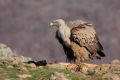 Griffon Vulture (Gyps fulvus) Royalty Free Stock Photography