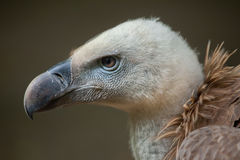 Griffon vulture (Gyps fulvus). Wildlife animal stock image