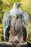 Griffon vulture (gyps fulvus) Stock Photo