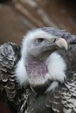 Griffon Vulture - Gyps rueppellii Royalty Free Stock Images