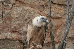 Griffon Vulture (Gypus fulvus) Royalty Free Stock Photography
