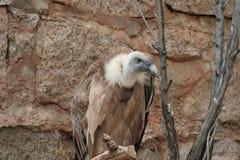Griffon Vulture (Gypus-fulvus) Royalty-vrije Stock Fotografie
