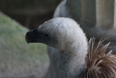 Griffon vulture head Royalty Free Stock Photography