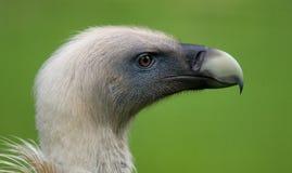 Griffon Vulture head. Big bird Griffon Vulture head on grean background Stock Photography