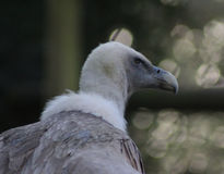 Griffon vulture head Stock Photography