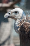 Griffon vulture head and neck Royalty Free Stock Photos