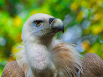 Griffon vulture head Royalty Free Stock Image