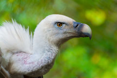 Griffon vulture head Stock Photos