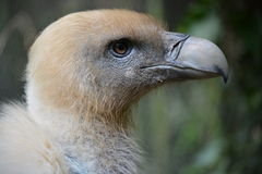 Griffon Vulture - Headshot stock foto's