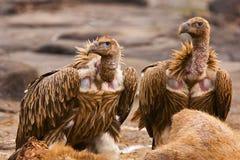 Griffon Vulture Himalaia, himalayensis dos Gyps, Panna Tiger Reserve, Rajasthan Fotos de Stock Royalty Free