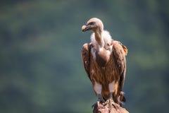 Griffon Vulture i en detaljerad stående som står på overs för en vagga Royaltyfri Bild