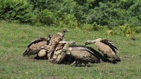 Griffon vulture at Jaizkibel Royalty Free Stock Photo