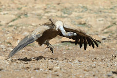 Griffon vulture jumping Stock Photography